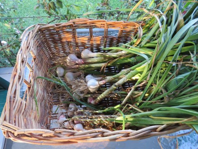 Garlic 2015 IMG_1833.jpg