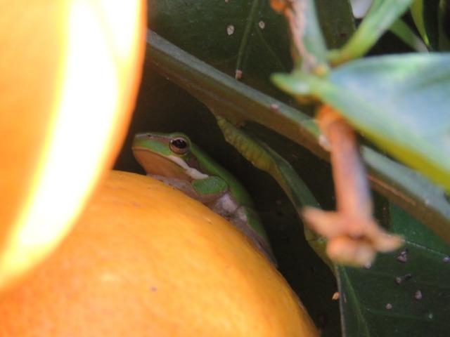 Orange Frog 2 IMG_4663