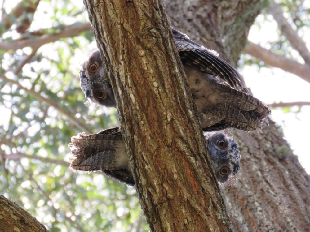 Tawny Frogmouth babies Dec 6 IMG_2098