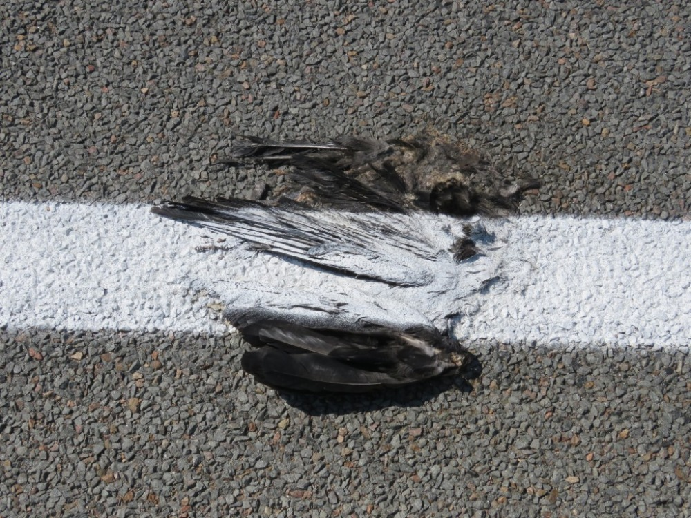 dead-magpie-1-img_1540