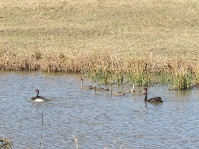 swan-family-img_6330