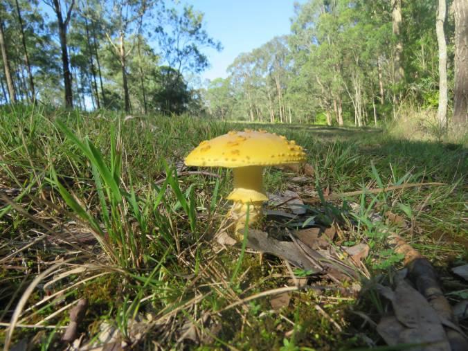 Yellow fungi 2