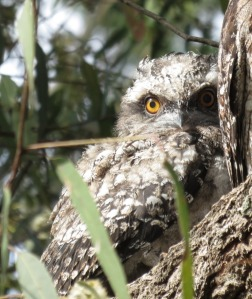 Frogmouth eye IMG_2455