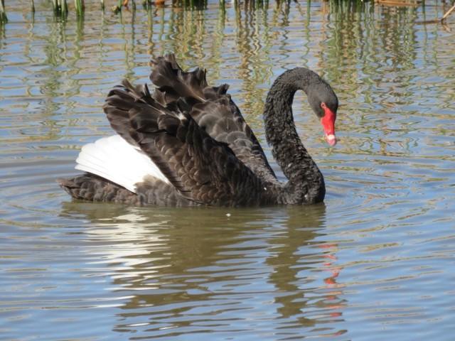 Black Swan 2 (2)